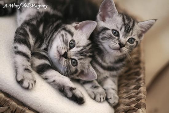 Britisch Kurzhaar Kittenfoto