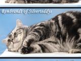 01_Rembrandt_BKH_silvertabby