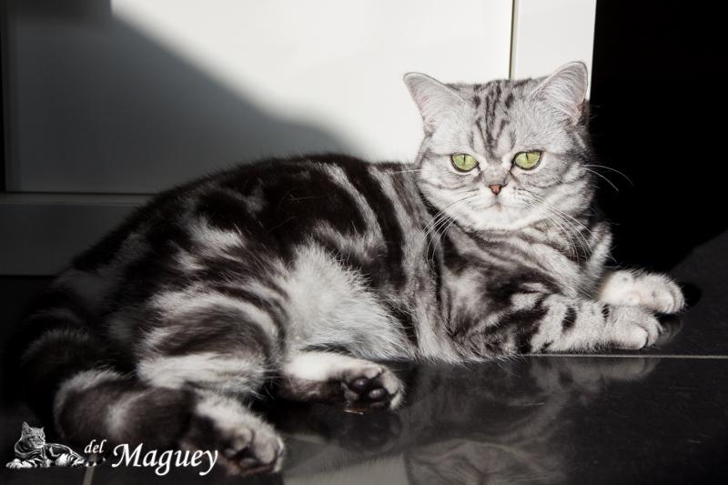 neue tabby Katze - Britisch Kurzhaar