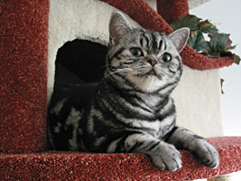 britisch shorthair silver tabby girl Billy Holiday de Broeckloni