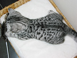 BKH silver tabby spotted