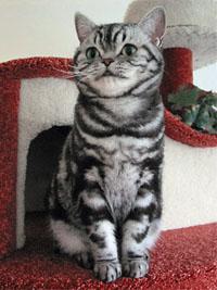 Billy Holiday - Britisch Kurzhaar silbertabby Katze