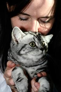 Britisch Kurzhaar silber tabby Katze - Angel del Maguey
