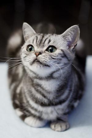 Britisch Kurzhaar silbertabby BKH Katze