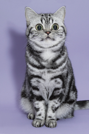 BKH silvertabby Katze
