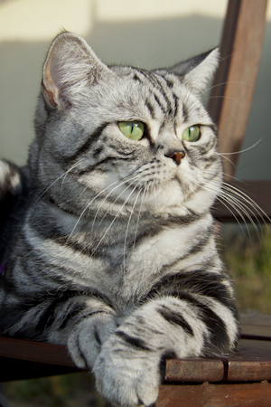 British shorthair silver tabby blotched