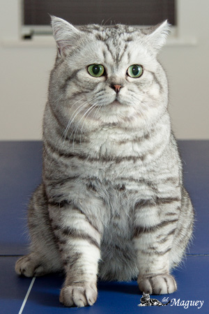 British Shorthair silvertabby blotched cat